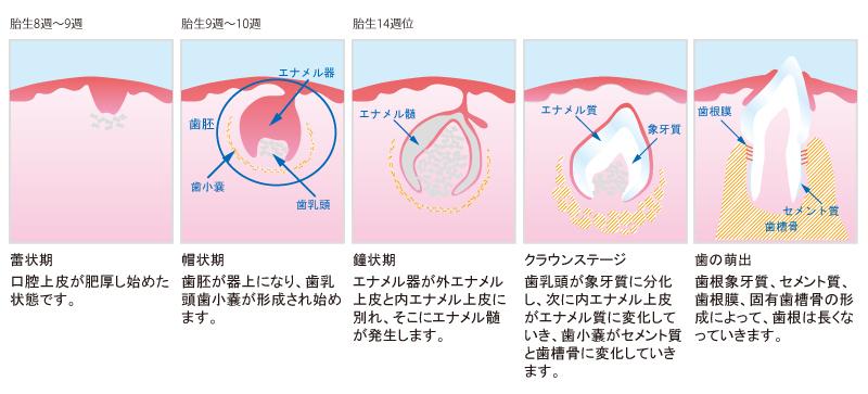 「歯が生える時期」の画像検索結果