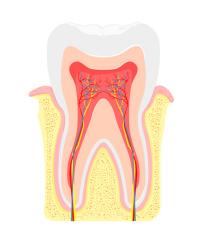 質 歯 再生 エナメル